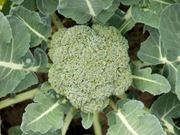 broccoli_plant